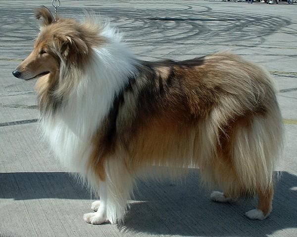 collie langhåret