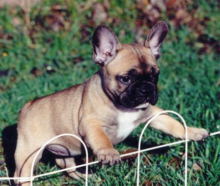 fransk bulldog farver