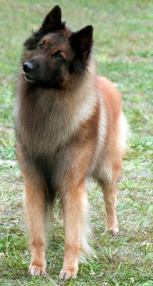 Populære Belgisk Hyrdehund Tervueren TT-72